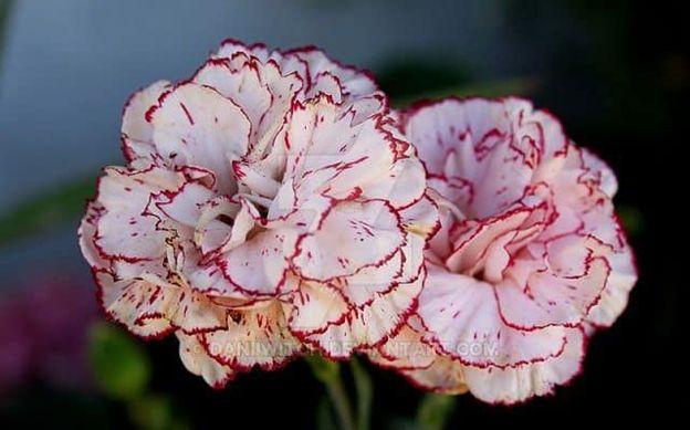 Cẩm Chướng - loài hoa của tình mẫu tử