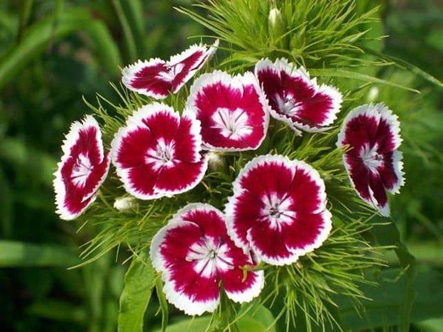 Hoa Cẩm Chướng - Đại diện cho tình yêu vĩnh cửu