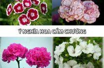 Bỏ túi ngay ý nghĩa hoa Cẩm Chướng