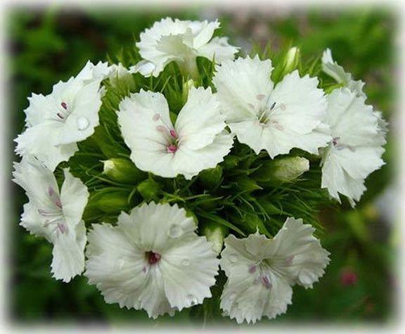 Hoa Cẩm Chướng trắng - Tinh khôi cho tình yêu ngọt ngào