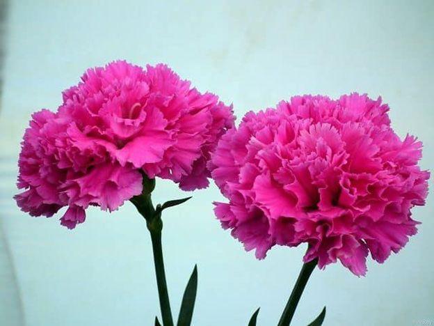 Hoa Cẩm Chướng hồng cho ngày của mẹ
