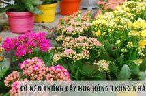 Có nên trồng cây hoa bỏng trong nhà không?