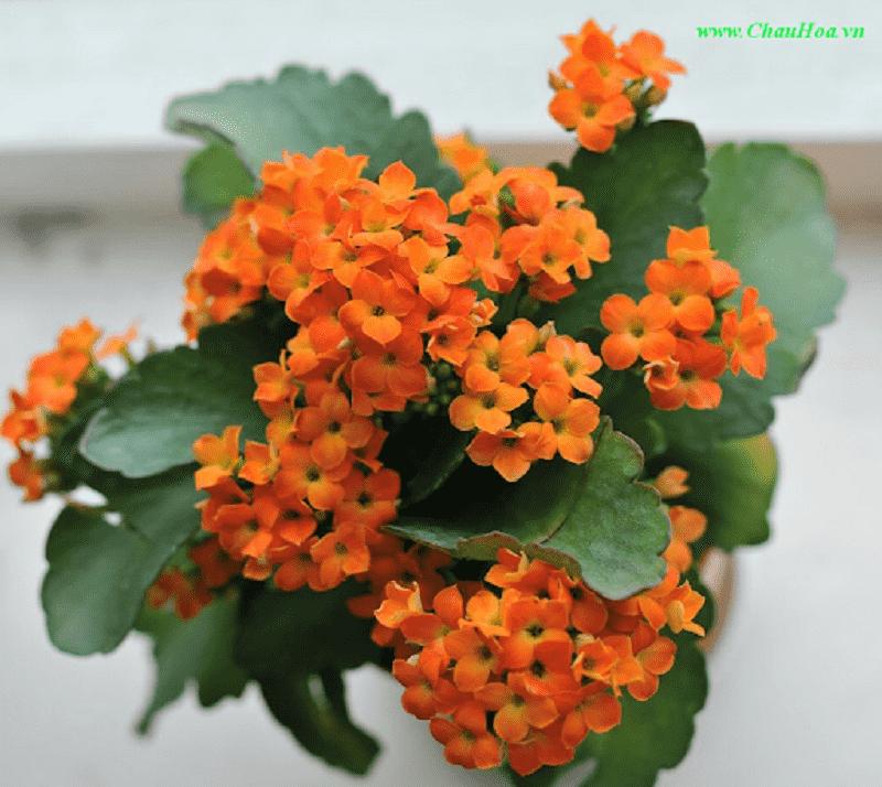 Cây hoa bỏng rất thích hợp trồng trong nhà