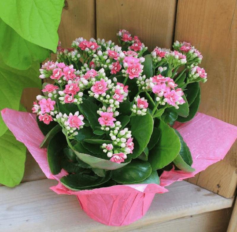 Cây hoa bỏng thích hợp đặt ở nhiều vị trí
