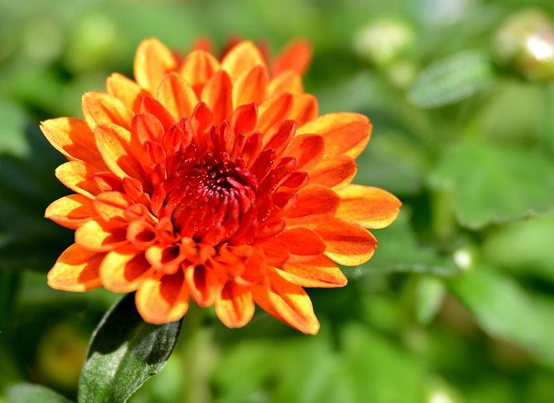 Nguồn gốc của hoa cúc