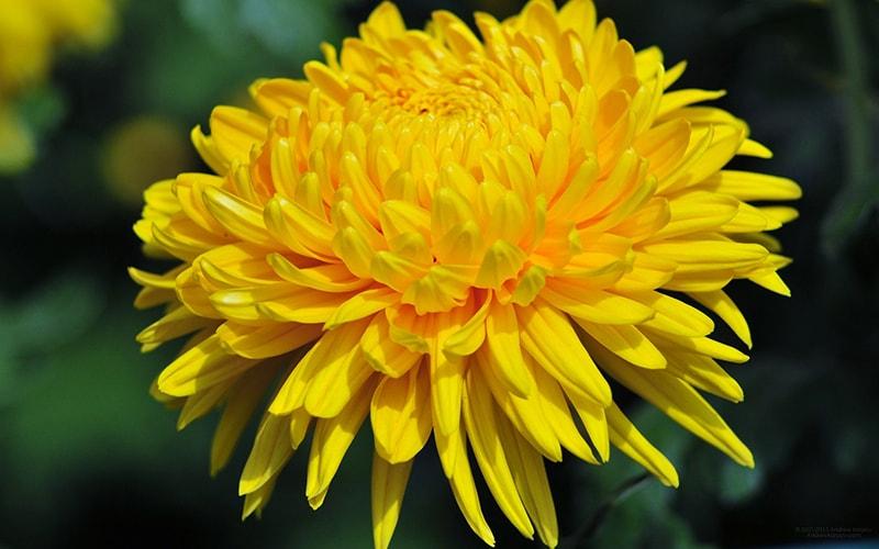 Ý nghĩa của hoa cúc vàng